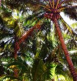 Palm Utopia. A cluster of palm trees adorned with coconuts Royalty Free Stock Photography