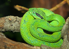 Palm Viper Royalty Free Stock Photos