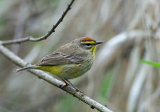 Palm Warbler. Photograph of a nicely plumaged palm warbler in a spring midwestern forest Stock Photography