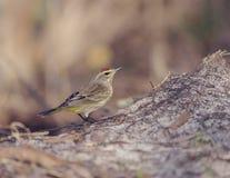 Palm Warbler Bird Stock Photo