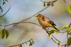 Palm Warbler. On a branch royalty free stock photo