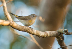 Palm Warbler on branch Royalty Free Stock Images
