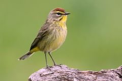 Palm Warbler (dendroica palmarum) Royalty Free Stock Photography