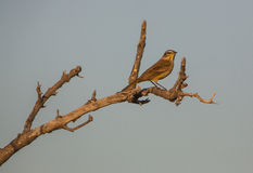 A Palm Warbler on a dry branch Stock Image