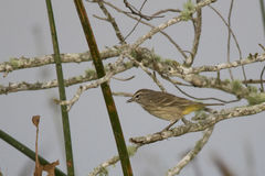 Palm Warbler eating Insect, Viera Wetlands. A palm warbler eating an insect while perched on a branch, at the Viera Wetlands in Brevard County, Florida royalty free stock photo