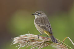 Palm Warbler in fall plumage - Florida Stock Images