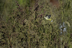 Palm Warbler flying Stock Photography