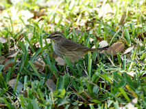 Palm Warbler on Grass Royalty Free Stock Image