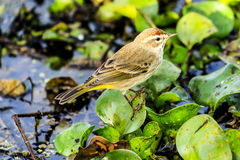 Palm Warbler Stock Photography