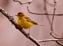 Palm Warbler Male breeding colors. Sitting on a branch on the lookout Royalty Free Stock Photo