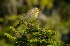 Palm Warbler. Perched on an evergreen branch. Ashbridges Bay Park, Toronto, Ontario, Canada Stock Image