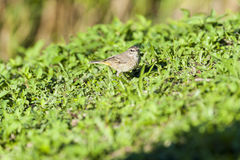 Palm Warbler pauses during foraging Stock Image