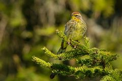 Palm Warbler. Perched on an evergreen branch. Ashbridges Bay Park, Toronto, Ontario, Canada Stock Photo