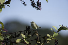 Palm Warbler pokeberry Royalty Free Stock Photography