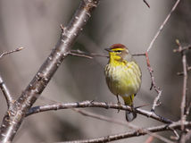 Palm Warbler Royalty Free Stock Images