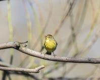 Palm warbler (Setophaga palmarum) Stock Image