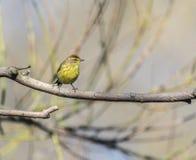 Palm warbler (Setophaga palmarum) Royalty Free Stock Photo
