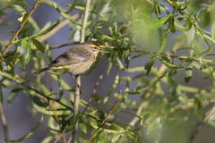 Palm warbler Stock Photos