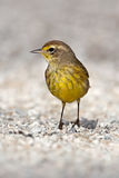 Palm Warbler (Setophaga palmarum) Stock Images