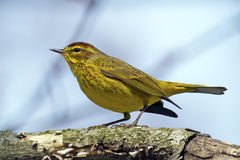 Palm Warbler Stock Photos