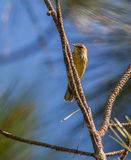 Palm Warbler on vertical pine branch Stock Images