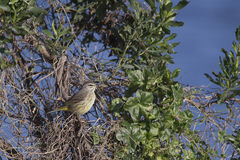 Palm warbler. At the Viera wetlands Stock Image