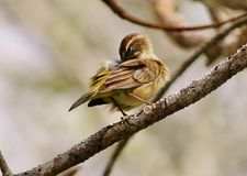 Palm Warbler Stock Photo