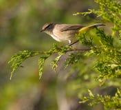 Palm Warbler Royalty Free Stock Photo