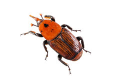 Palm Weevil Stock Image