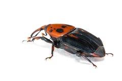 Palm weevil snout beetle. Rhynchophorus ferrugineus, on white stock image
