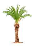 Palm on white background Royalty Free Stock Photo
