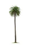 Palm on white background Royalty Free Stock Image