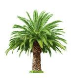 Palm on white background Stock Photos