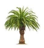 Palm on white background Stock Images