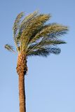 Palm in wind Stock Afbeelding