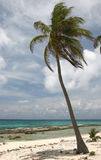 Palm in wind. On a sandy beach of a famous tourist resort Half Moon Caye. Caribbean sea. Belize Royalty Free Stock Photo
