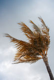 Palm at the wind Royalty Free Stock Photography