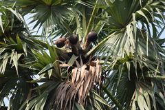 Palm wine one kind of natural drink take out from palm tree in clay pot at morning west bengal India stock photo