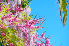 Palm and wisteria Royalty Free Stock Photography