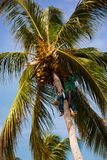 The palm worker takes off the coconuts. Stock Photos