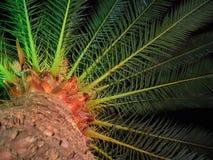 Palma-árbol Fotos de archivo