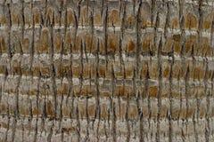 Palma-árvore Fotografia de Stock