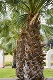 Palma-árvores Fotografia de Stock