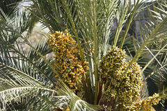 Palma-árvores Fotos de Stock Royalty Free