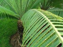 Palma-albero Immagine Stock Libera da Diritti