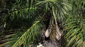 Palma-albero della data con frutta Il grande piano Immagini Stock Libere da Diritti