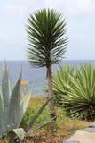 Palma, aloes i agawa przy południowym wybrzeżem madera, Obraz Royalty Free