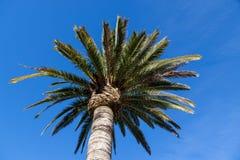 Palma alta con cielo blu Fotografia Stock Libera da Diritti