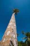 Palma alta o della noce di cocco Fotografia Stock