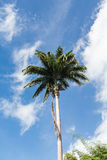Palma alta sotto il cielo brillante Fotografia Stock Libera da Diritti